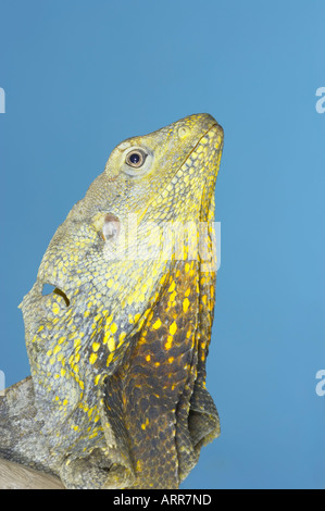 Frilled Dragon, native to northern Australia and southern New Guinea, Scientific name Chlamydosaurus kingi, Royalty - Stock Photo