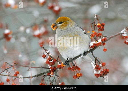 Female Pine Grosbeak Perched in Siberian Crab Apple Tree Berries with Snow - Stock Photo