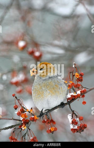 Female Pine Grosbeak Perched in Siberian Crab Apple Tree Berries with Snow - Vertical - Stock Photo