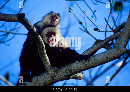 White-faced Capuchin Monkey - White-headed Capuchin (Cebus capucinus), Palo Verde National Park, Costa Rica - Stock Photo