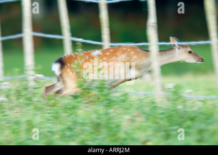 Sika deer, Cervus nippon, female or hind jumping through fence - Stock Photo