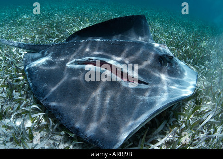 nr1343D. Southern Stingray, Dasyatis americana, seriously injured. Belize Caribbean Sea. Photo Copyright Brandon - Stock Photo