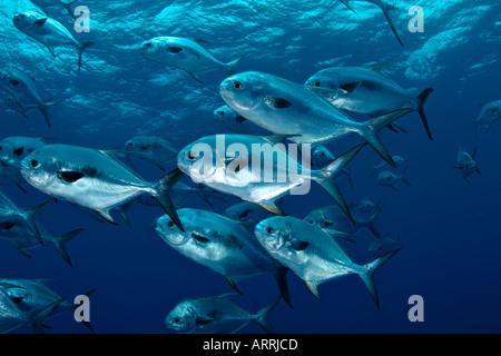 Underwater schooling fish permit Stock Photo: 6319656 - Alamy