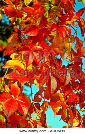 Autumnal leaves, England, United Kingdom - Stock Photo