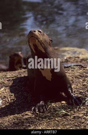 Giant Otter Pteronura brasiliensis tropical South America Captive - Stock Photo