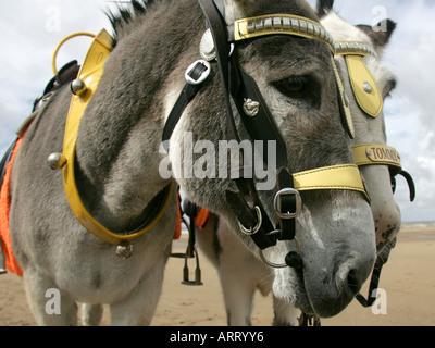 Donkeys on Skegness beach. - Stock Photo