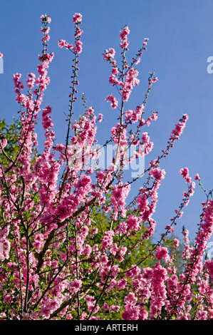 pink peach blossoms on tree in spring in shallow focus against blue sky - Stock Photo