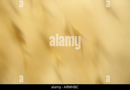 Impressionistic close up of heads of Wild oat or Avena fatua against a defocussed beige hot summery background - Stock Photo