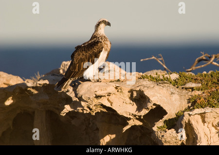 Lone Osprey nesting on a cliff Pandion haliaetus adult pair at nest or eyrie feeding chick - Stock Photo