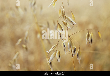 Close up of a ripe stem of Wild oat or Avena fatua against a defocussed background of other ripe stems - Stock Photo