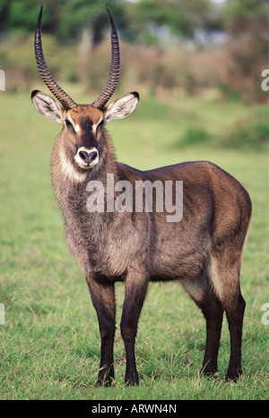 Male Defassa Waterbuck Masai Mara National Reserve Kenya East Africa - Stock Photo