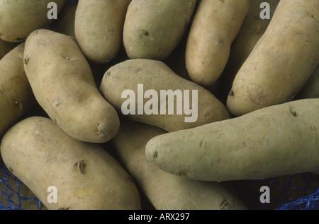 Solanum tuberosum 'Ratte'. AGM Early maincrop Seed potatoes. - Stock Photo
