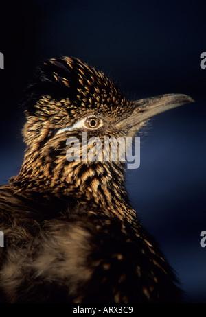 ROADRUNNER (Geococcyx californianus) CAPTIVE Portrait - Stock Photo