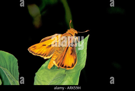 Fiery Skipper Hylephila phyleus Cove Lake south of Paris ARKANSAS United States June Adult Male - Stock Photo