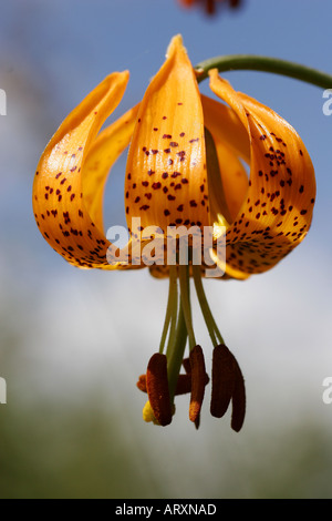 Wild Tiger Lily Wildflowers summer in Alberta - Stock Photo