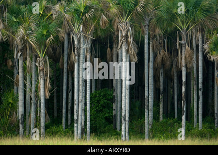 Moriche Palms, WILD, Nariva Swamp, Triunidad West Indies - Stock Photo
