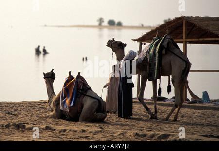 Sinai camels on Nuweiba beach, egypt - Stock Photo