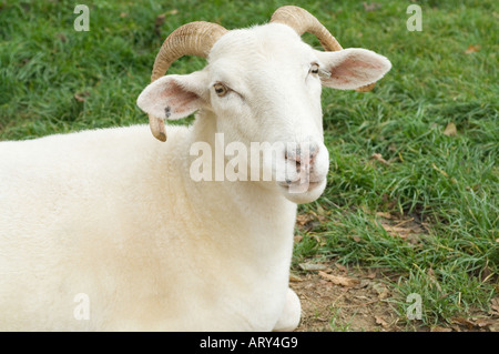 Domestic Sheep (Ovis aries) Wiltshire Horn resting on the grass, North Yorkshire, England, UK, Europe
