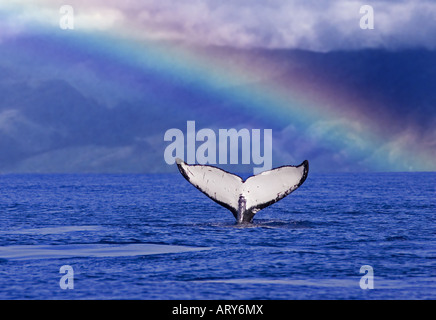 A very white whale tail with a rainbow and the island of Molokai in the background. - Stock Photo