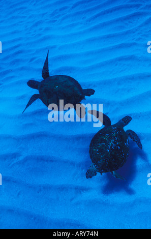 Two Green Sea Turtles swim together in Hawaii's pristine blue waters. - Stock Photo