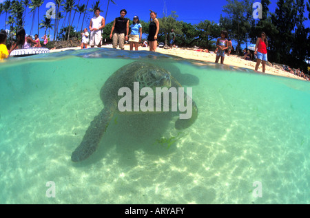 Hawaiian green sea turtles, Chelonia mydas, come face to face with visitors to Laniakea beach on Oahu's north shore. - Stock Photo