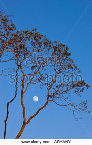 The nearly full moon rises between the branches of a madrona tree located near Eatonville, Washington. - Stock Photo