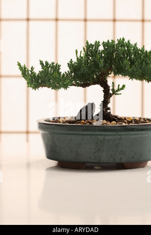 Bonsai tree in planter - Stock Photo