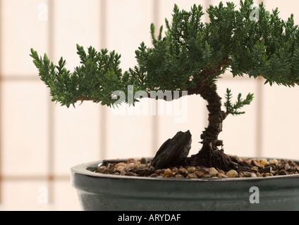 Closeup of bonsai tree in pot - Stock Photo