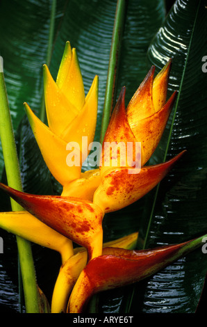 Two heliconias (Heliconia champneiana): cv. Honduras on the left, cv. Splash on the right, against glossy green - Stock Photo