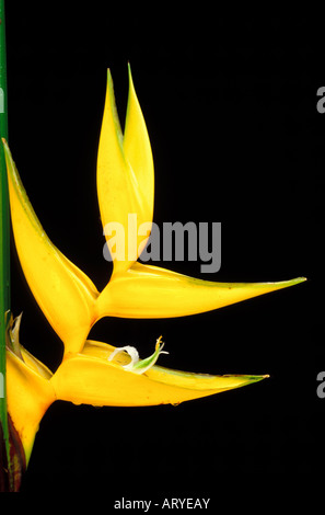 A close-up of a Heliconia bihai, cv. Yellow Dancer, blossom against a dark background - Stock Photo
