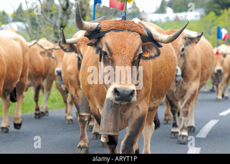 France midi pyrenees cow parade during transhumance in for Haute aubrac