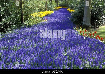A border of Muscari (Grape hyacinth) - Stock Photo