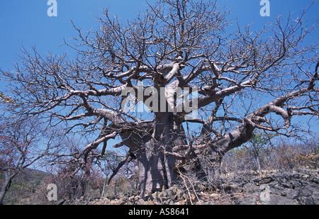 Mammoth baobab trees On the Sesfontein to Opuwo road Namibia - Stock Photo