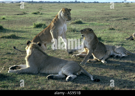 Young lions play fighting Masai Mara National Reserve Kenya East Africa Other members of the pride look on - Stock Photo