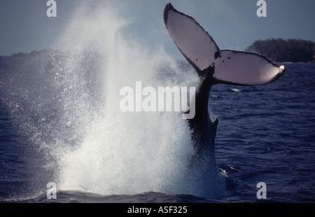 Humpback whale Megaptera novaeangliae lobtailing tail slapping vigorously many times Tonga  - Stock Photo