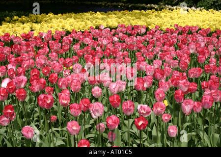 Tulips flowerbeds at Keukenhof Spring Gardens South Holland The Netherlands - Stock Photo