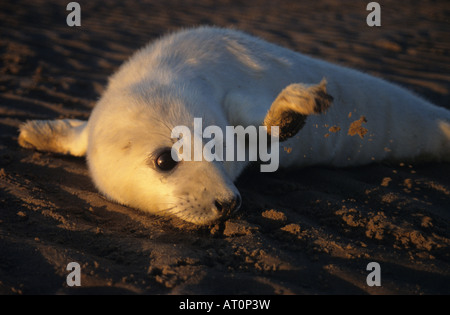 Young atlantic grey seal pup flicking sand with its flipper. Taken at Donna Nook nature reserve in November. - Stock Photo