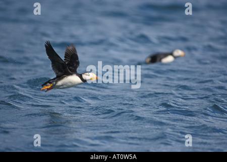 horned puffin Fratercula corniculata taking flight over Resurrection Bay Kenai Fjords National Park southcentral - Stock Photo