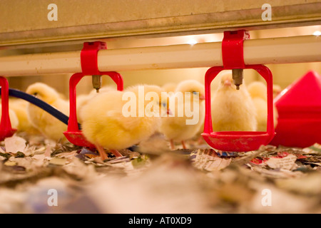 Day old chicks in chicken shed with water drinkers that include vacines to protect against diseases - Stock Photo
