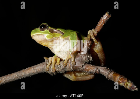 Italian Tree Frog Hyla intermedia Central Italy - Stock Photo