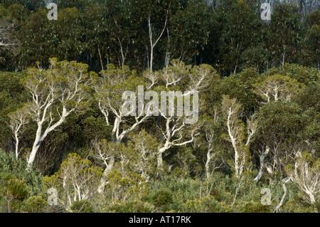 Ecualyptus grows along Hamersley Drive Fitzgerald River National Park Western Australia October - Stock Photo