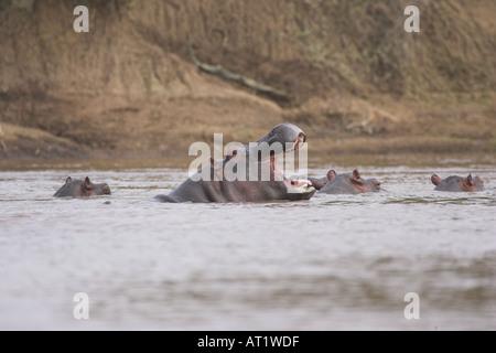 Hippo Hippopotamus amphibius yawning in water - Stock Photo