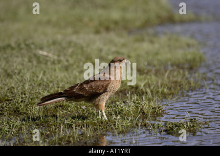 Chimango Caracara Tierra del Fuego Argentina - Stock Photo