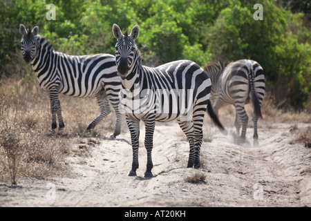Zebras in the woods in Nechisar National Park, Ethiopia - Stock Photo