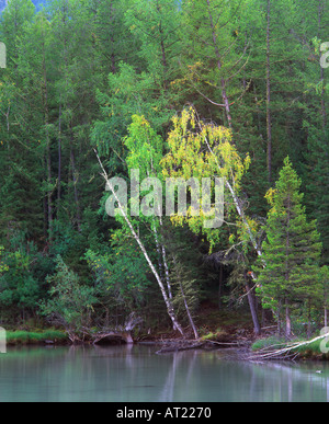 Forest in early autumn along the shore of Kanas Lake Kanas Lake Nature Reserve Altay Mountain Xinjiang northwest - Stock Photo