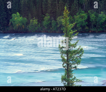 Siberian spruce Picea obovata with Kanas River behind Kanas Lake Nature Reserve Altay Mountains Xinjiang northwest - Stock Photo