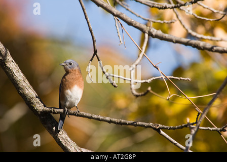 Colorful Eastern Blue bird - Stock Photo