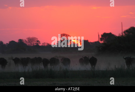 Buffalo stampede in dust at sunset at Tubu tree safari camp in Okavango Delta Botswana southern Africa - Stock Photo
