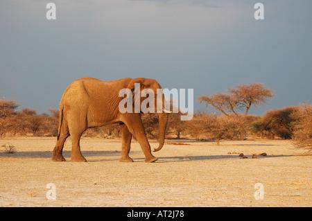 African Elephant loxodonta Africana against dark sky at Nxai Pan National Park in the Kalahari Desert Botswana southern - Stock Photo