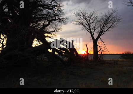 Sunset at Baines Baobabs upsidedown trees at salt pan in the Kalahari Desert Botswana southern Africa - Stock Photo